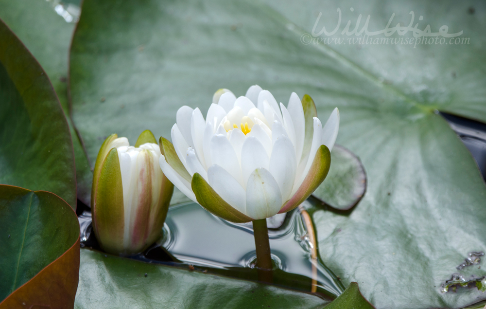 Okefenokee Swamp White Water Lily