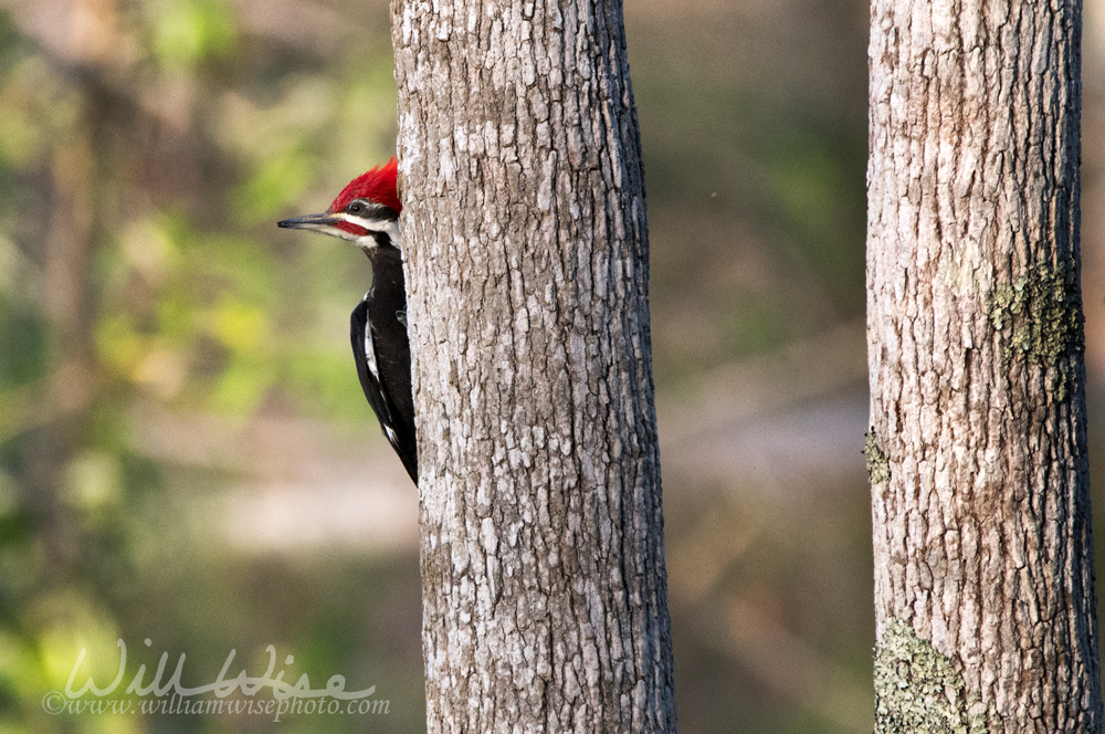 Pileated Woodpecker in the Okefenokee Swamp