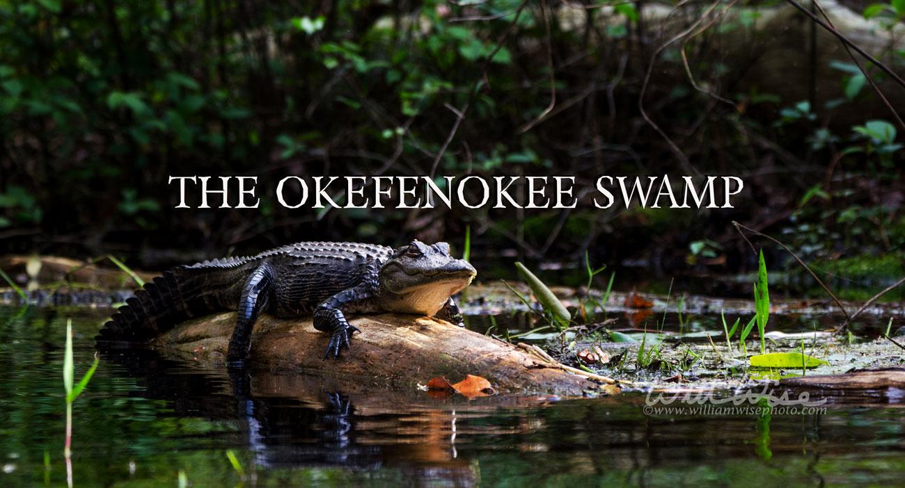 Okefenokee Swamp basking alligator