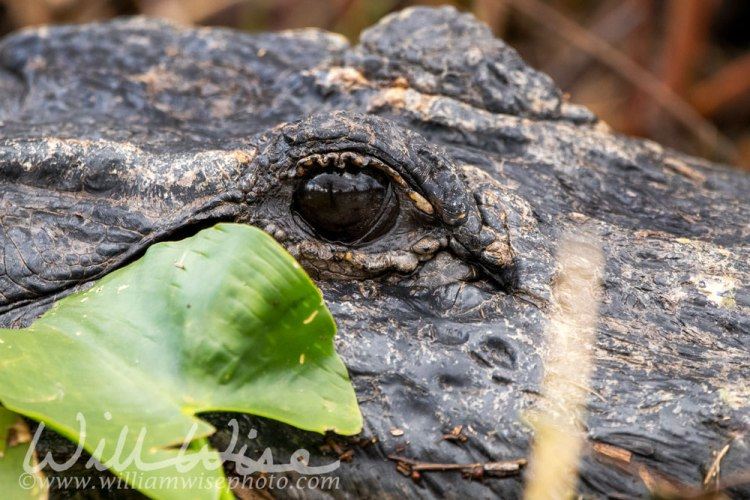Alligator eye hiding in the Okefenokee Swamp