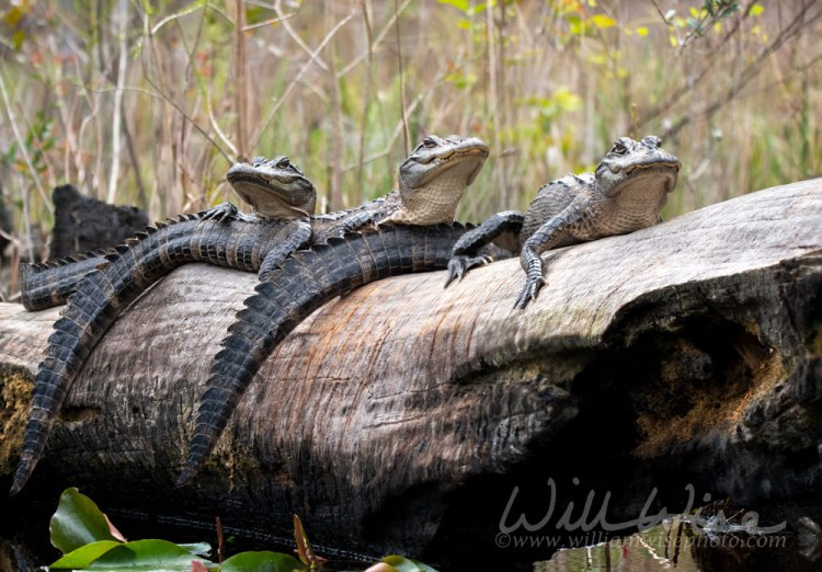Juvenile Alligators on Minnies Lake Okefenokee Swamp