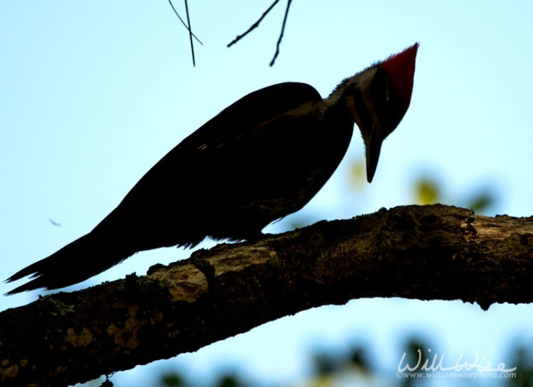 Pileated Woodpecker Okefenokee Swamp