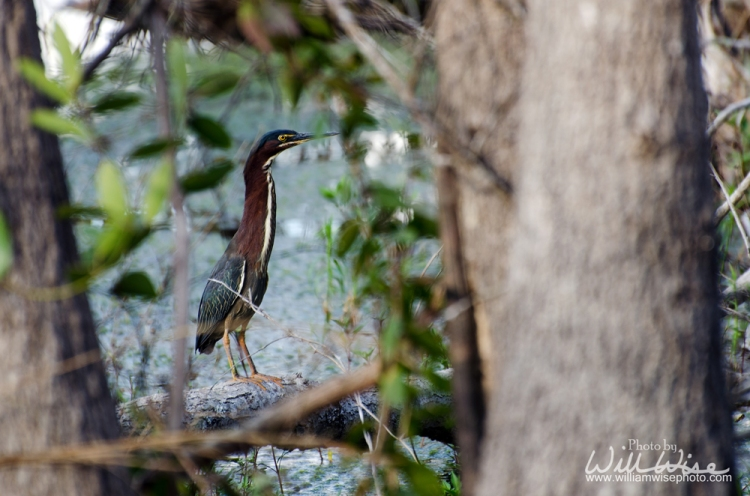 Green Heron in the Okefenokee Swamp