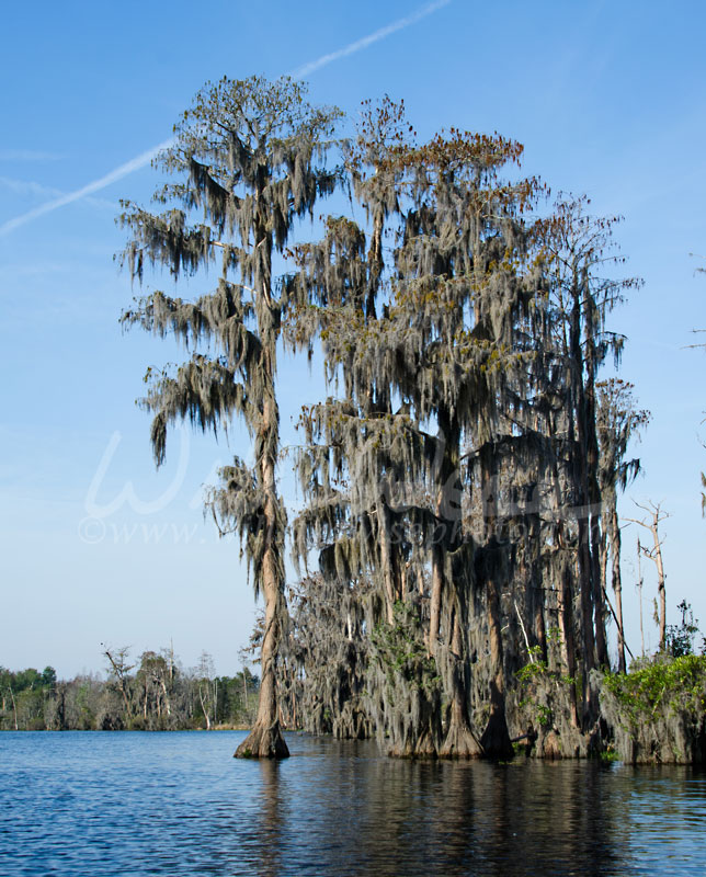 Cypress Trees and Spanish Moss